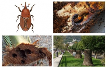 "Removal of trees affected by the ""Red Palm Weevil"""